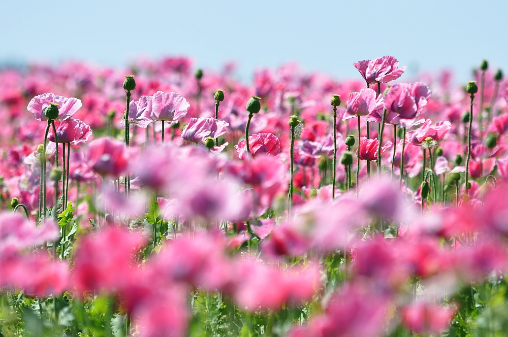 ein rosarotes Bütenmeer