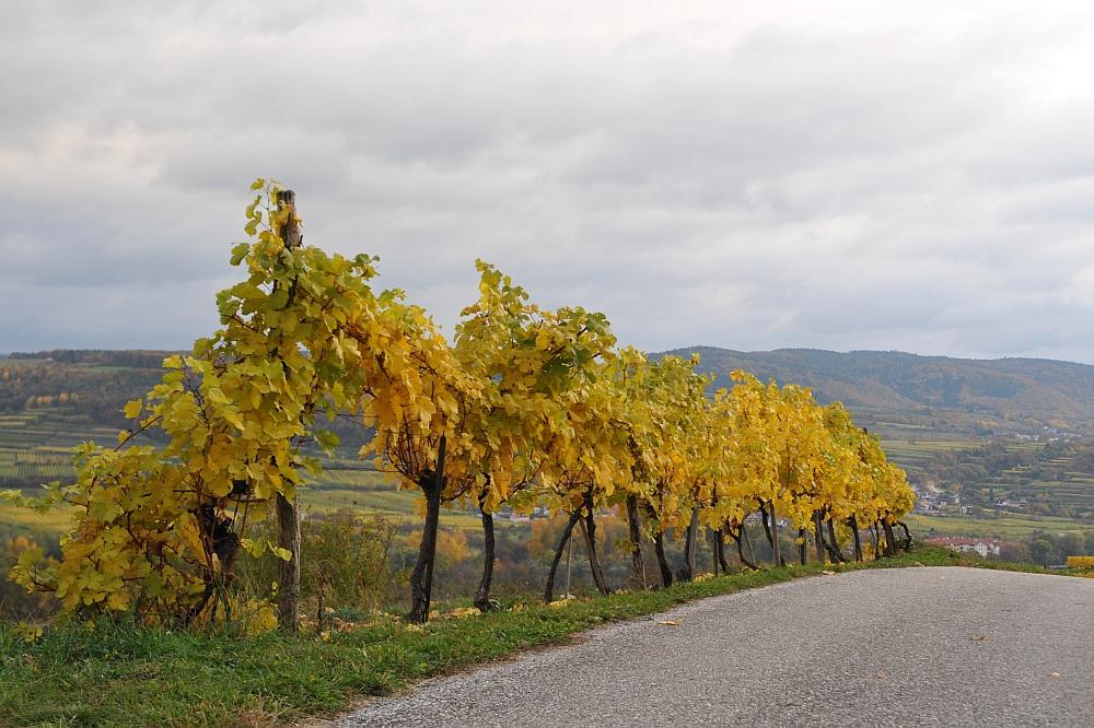 Herbst in den Weinbergen nahe Krems